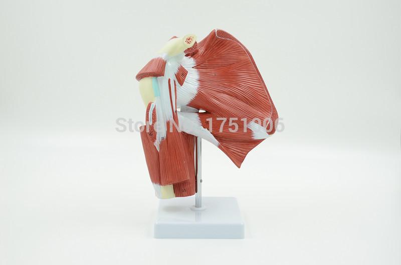 Upper limb deep muscle model. Upper limb model. Model muscle anatomy. Tendons joint model(China (Mainland))