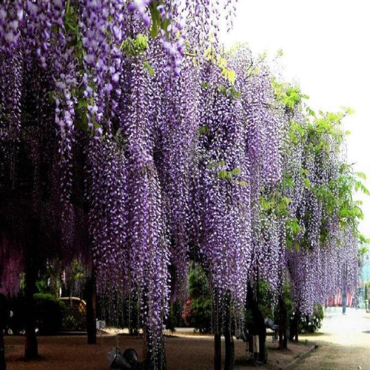 Карликовое дерево Other 10 Sinensis DIY 43054 карликовое дерево other cattleya 100