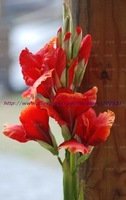 High simulation silk flower / artificial silk flower Canna Lily,three colors,free shipping