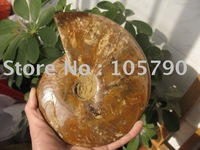 2.97lb NATURAL BEAUTIFULVariegated colorconch FOSSILS  Healing Free Shipping