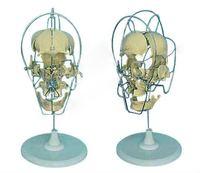 Dissected Model of Adult Skull(medical model,anatomical model)