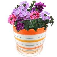 Full set of potted flower* Verbena:1 bag cosmos seeds+1 pottery flowerpot+1 bag ceramsite+1 bagchemical fertilizer