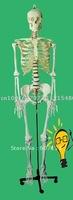 New type human skeleton model (180CM)