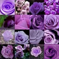 Colors Purple Rose Seed - Purple color **50 seeds per package**flower seeds home gardening