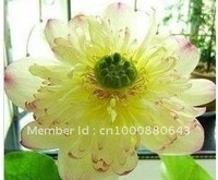 "5pcs/bag white water lily lotus nelumbo Flower ""Mrs.Boli"" Seeds DIY Home Garden"
