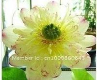 """5pcs/bag white water lily lotus nelumbo Flower """"Mrs.Boli"""" Seeds DIY Home Garden"""