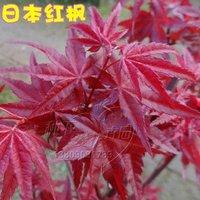 10pcs/bag Japanese Maple tree  Seeds DIY Home Garden