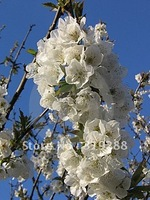 5pcs/bag white cherry blossoms tree Seeds DIY Home Garden