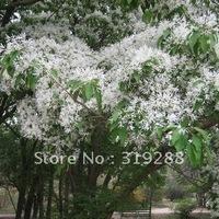 5pcs/bag Chinese tassel tree Seeds DIY Home Garden