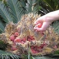 5pcs/bag Cycads tree Seeds DIY Home Garden