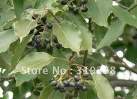 5pcs/bag Camphor tree Seeds DIY Home Garden