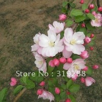 5pcs/bag pink chinese Xifu halliana tree Seeds DIY Home Garden