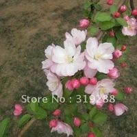 5pcs/bag pink chinese Xifu halliana tree Seeds DIY Home Garden