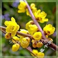 5pcs/bag yellow Plum tree Seeds DIY Home Garden