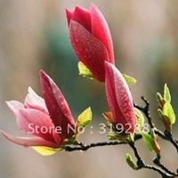 5pcs/bag red Magnolia tree Seeds DIY Home Garden