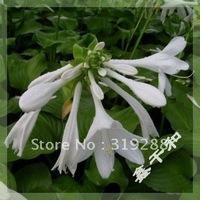 10pcs/bag white Hosta tree Seeds DIY Home Garden