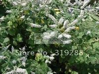 10pcs/bag Previn mint Seeds DIY Home Garden