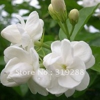 10pcs/bag white jasmine Flower Seeds DIY Home Garden