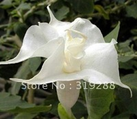 10pcs/bag white Mandala Flower Seeds DIY Home Garden