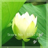"5pcs/bag white water lily lotus nelumbo Flower ""ChunShuiLvBo"" Seeds DIY Home Garden"