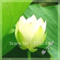 """5pcs/bag white water lily lotus nelumbo Flower """"ChunShuiLvBo"""" Seeds DIY Home Garden"""