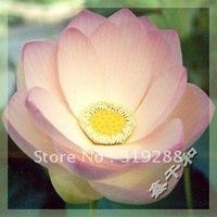 "5pcs/bag pink water lily lotus nelumbo Flower ""FoShouGuanYin"" Seeds DIY Home Garden"