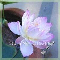 """5pcs/bag pink water lily lotus nelumbo Flower """"ZiGuiRen"""" Seeds DIY Home Garden"""