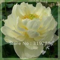 """5pcs/bag white water lily lotus nelumbo Flower """"JinTaiYang"""" Seeds DIY Home Garden"""