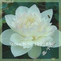 "5pcs/bag white water lily lotus nelumbo Flower ""HongYanDiCui"" Seeds DIY Home Garden"