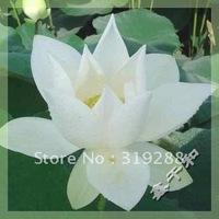 "5pcs/bag white water lily lotus nelumbo Flower ""BaiXueGongZhu"" Seeds DIY Home Garden"