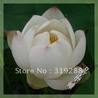 "5pcs/bag white water lily lotus nelumbo Flower ""WaWaLian"" Seeds DIY Home Garden"