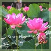 "5pcs/bag pink water lily lotus nelumbo Flower ""HongYanSanChongTian"" Seeds DIY Home Garden"