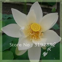 "5pcs/bag white water lily lotus nelumbo Flower ""XueBaiLian"" Seeds DIY Home Garden"