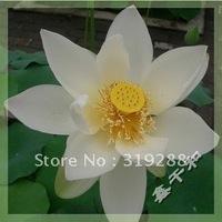 "5pcs/bag white water lily lotus nelumbo Flower ""XueBaiLian"" Seeds DIY Home Garden"