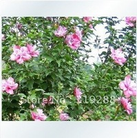 5pcs/bag Red flower hibiscus tree Seeds DIY Home Garden