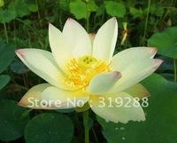 "5pcs/bag white water lily lotus nelumbo Flower ""SanHaoLian No.1"" Seeds DIY Home Garden"