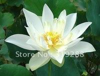 "5pcs/bag white water lily lotus nelumbo Flower ""DiCuiLian"" Seeds DIY Home Garden"