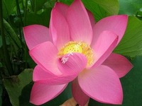 "5pcs/bag pink water lily lotus nelumbo Flower ""HongXiaManTian"" Seeds DIY Home Garden"