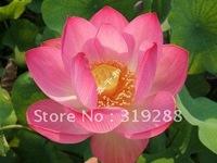 "5pcs/bag pink water lily lotus nelumbo Flower ""YanYang No.3"" Seeds DIY Home Garden"