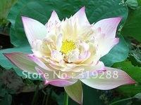 "5pcs/bag pink water lily lotus nelumbo Flower ""PiPaCheng"" Seeds DIY Home Garden"