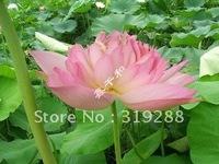 "5pcs/bag pink water lily lotus nelumbo Flower ""PiZhenFen"" Seeds DIY Home Garden"
