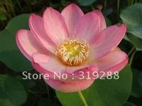 "5pcs/bag pink water lily lotus nelumbo Flower ""WanXiang No.16"" Seeds DIY Home Garden"