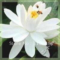 "5pcs/bag white water lily lotus nelumbo Flower ""MuNiangYuJiao"" Seeds DIY Home Garden"