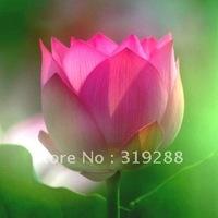 """5pcs/bag red water lily lotus nelumbo Flower """"TeYan"""" Seeds DIY Home Garden"""