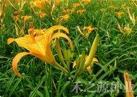 20pcs/bag Daylily vegetable Seeds DIY Home Garden