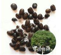 10pcs/bag Sophora japonica tree Seeds DIY Home Garden