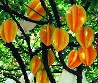 Free Shipping 20 pieces of Coromadel gooseberry plant seeds,carambola/Star-fruit seeds