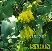 5pcs/bag Bicuculline yellow Climbing flower Seeds DIY Home Garden