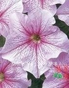 10pcs/bag pink Veining Petunia hybrida flowers Seeds DIY Home Garden
