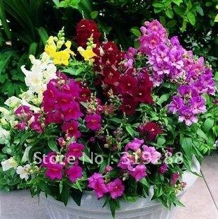 10pcs/bag Snapdragon Flower Seeds bell mixed colour DIY Home Garden